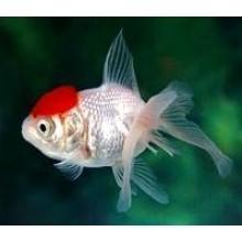 Pirossapkás aranyhal