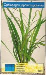 Ophiopogon japonica gigantea