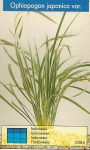 Ophiopogon japonica var.