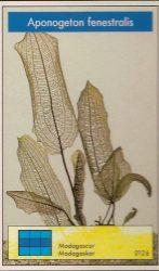 Aponogeton fenestralis