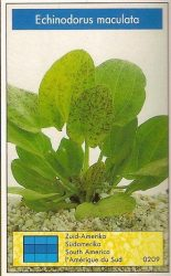 Echinodorus maculata