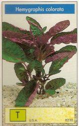 Hemygraphis colorata
