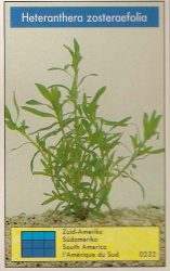 Heteranthera zosteraefolia